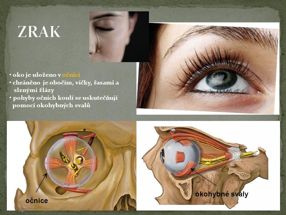 ZRAK okohybné svaly očnice • oko je uloženo v očnici