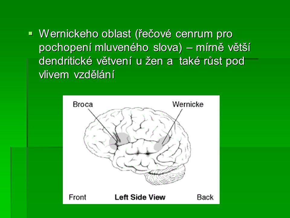 Wernickeho oblast (řečové cenrum pro pochopení mluveného slova) – mírně větší dendritické větvení u žen a také růst pod vlivem vzdělání