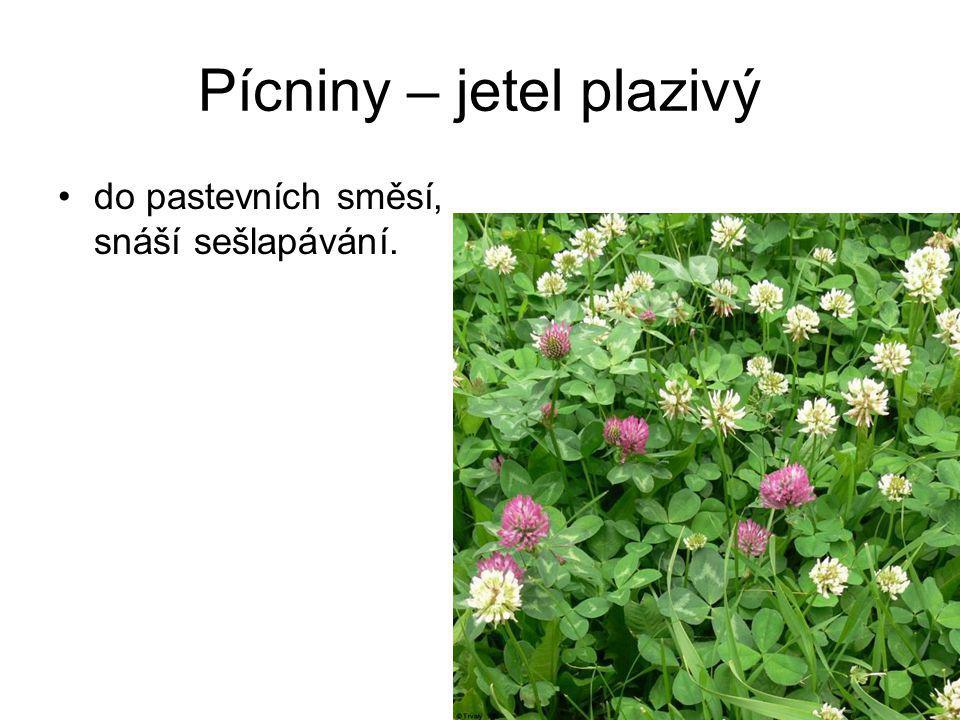 Pícniny – jetel plazivý