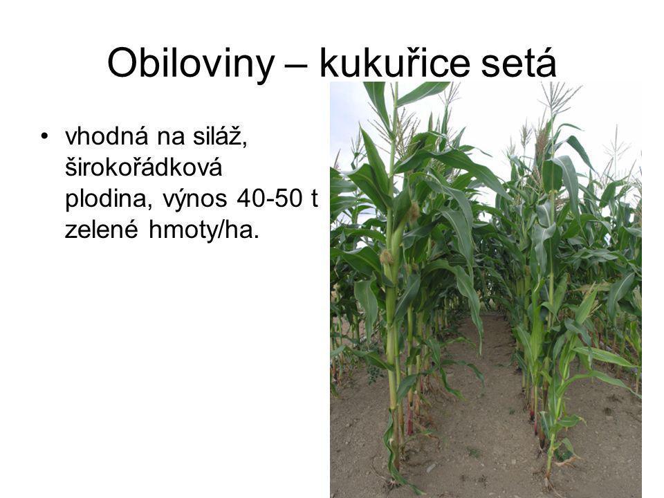 Obiloviny – kukuřice setá