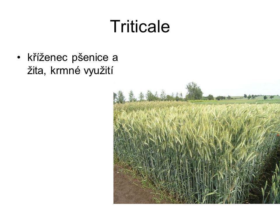Triticale kříženec pšenice a žita, krmné využití