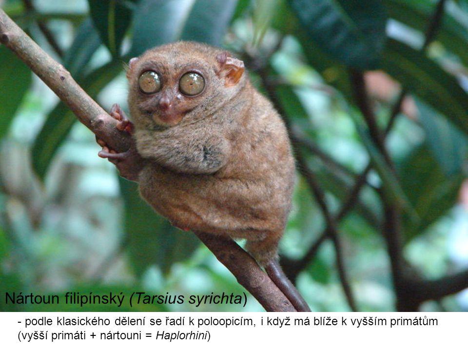 Nártoun filipínský (Tarsius syrichta)