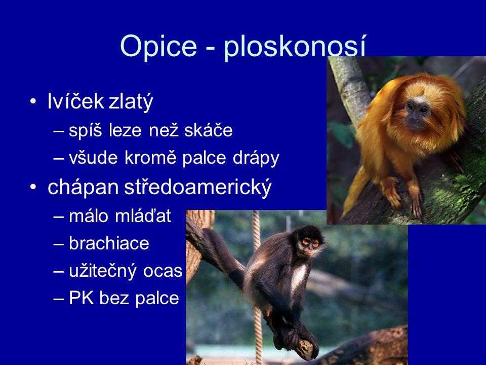 Opice - ploskonosí lvíček zlatý chápan středoamerický