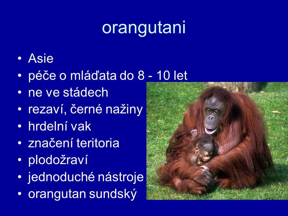 orangutani Asie péče o mláďata do 8 - 10 let ne ve stádech