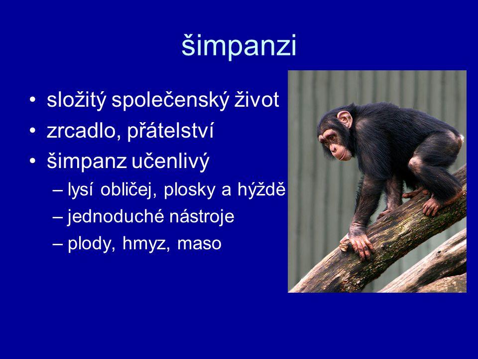 šimpanzi složitý společenský život zrcadlo, přátelství