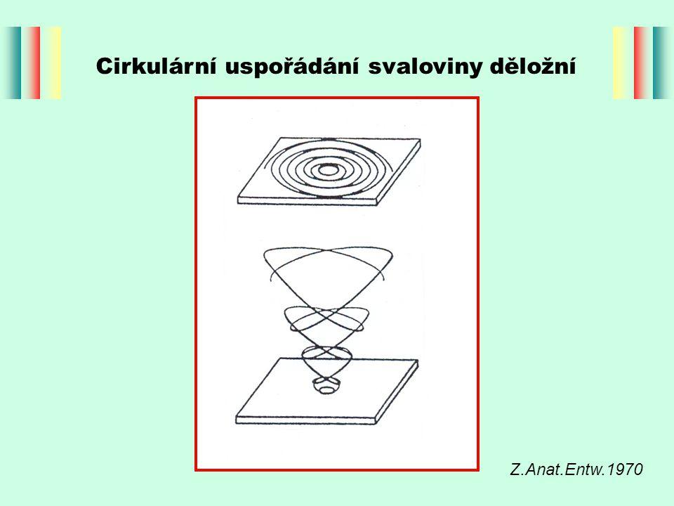 Cirkulární uspořádání svaloviny děložní