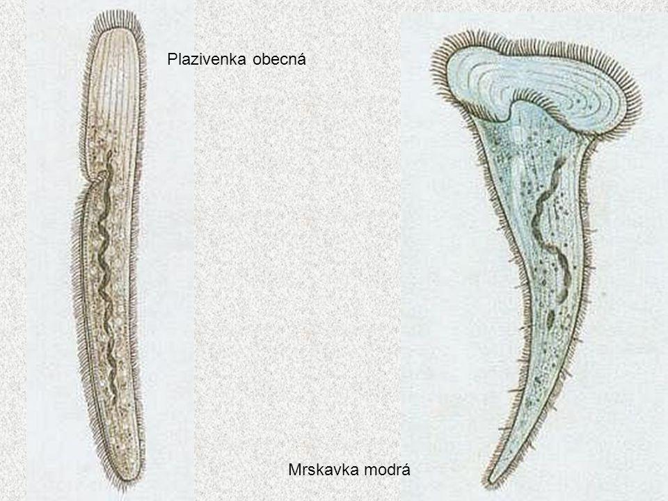 Plazivenka obecná Mrskavka modrá