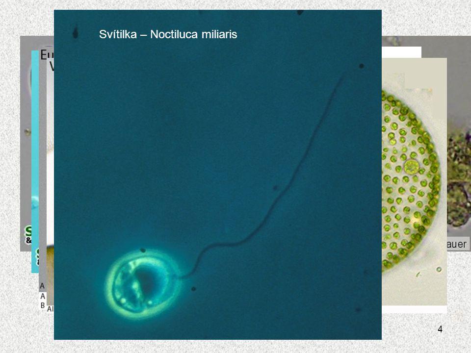 Svítilka – Noctiluca miliaris