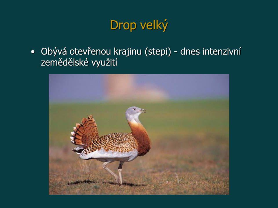 Drop velký Obývá otevřenou krajinu (stepi) - dnes intenzivní zemědělské využití