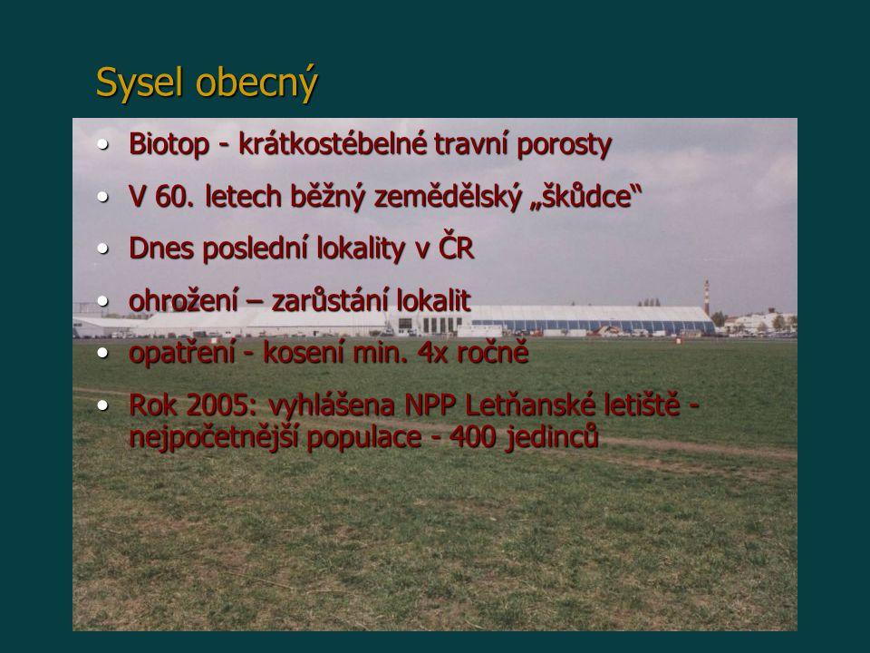Sysel obecný Biotop - krátkostébelné travní porosty