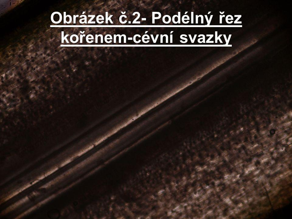Obrázek č.2- Podélný řez kořenem-cévní svazky