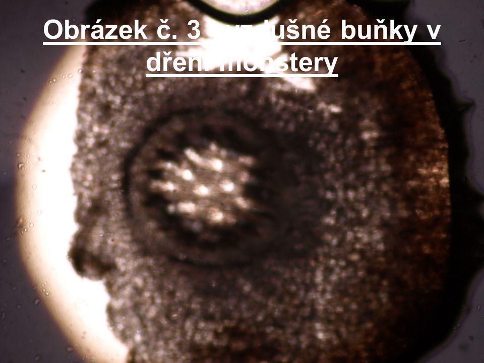 Obrázek č. 3 - vzdušné buňky v dřeni monstery