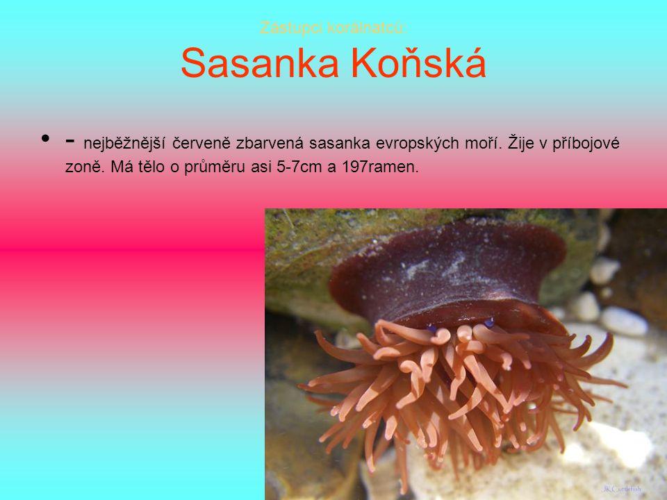 Zástupci korálnatců: Sasanka Koňská