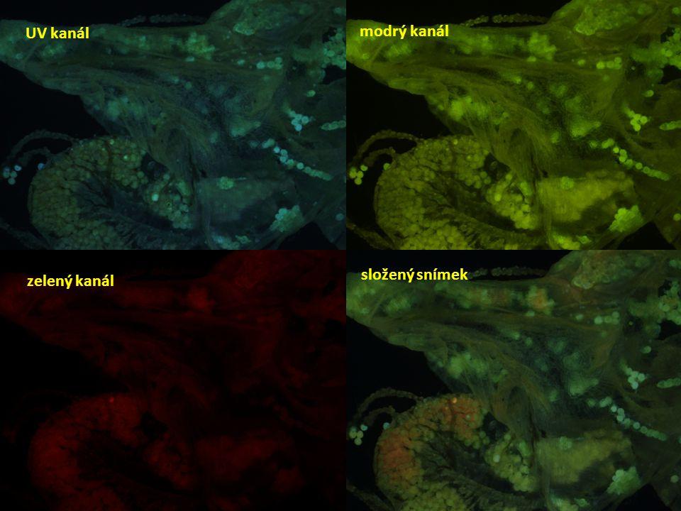 UV kanál modrý kanál složený snímek zelený kanál