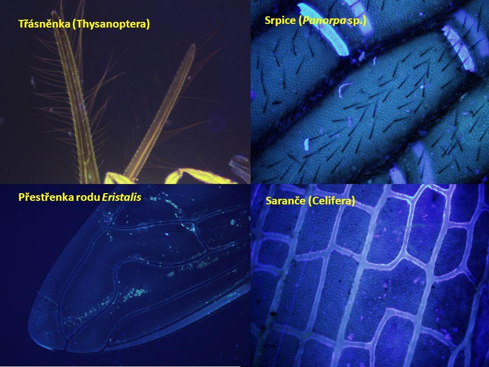Srpice (Panorpa sp.) Třásněnka (Thysanoptera) Přestřenka rodu Eristalis Saranče (Celifera)