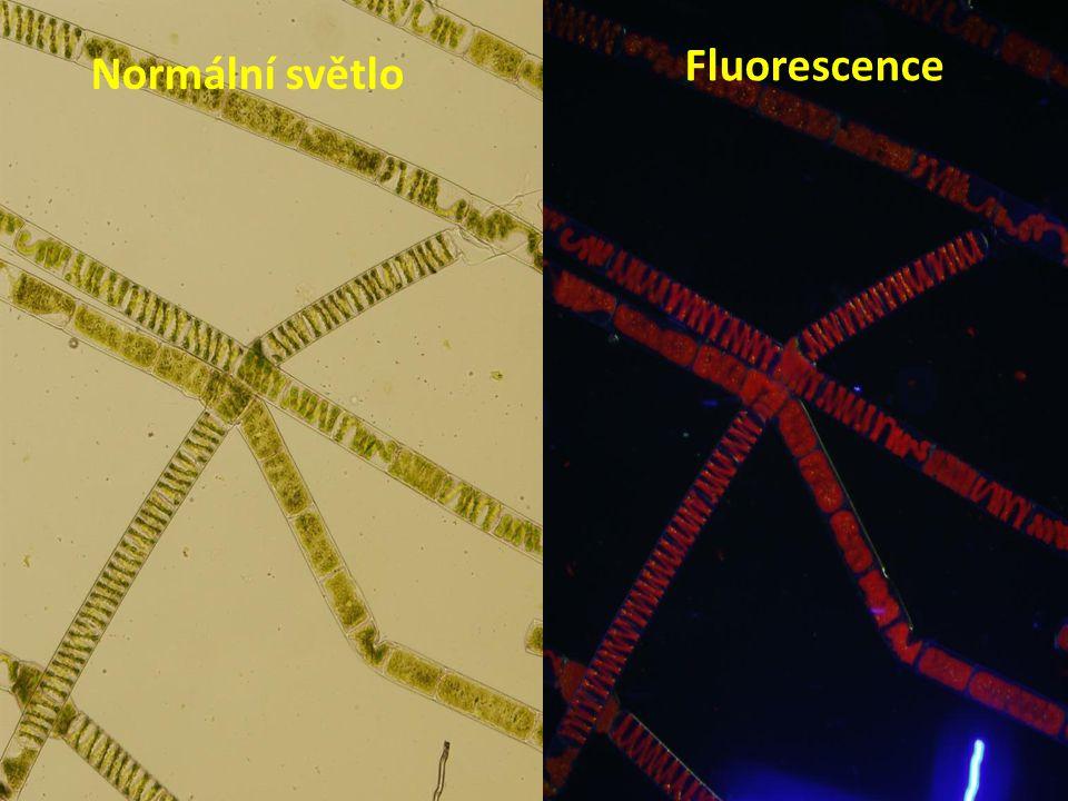 Fluorescence Normální světlo