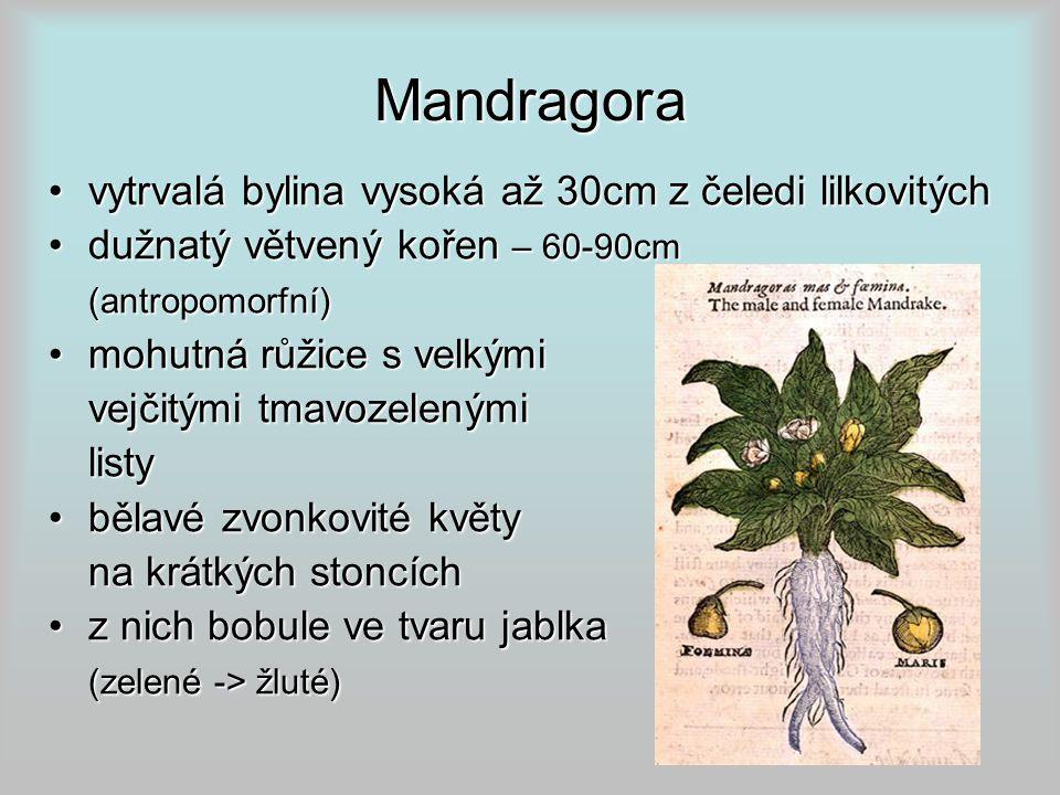 Mandragora vytrvalá bylina vysoká až 30cm z čeledi lilkovitých