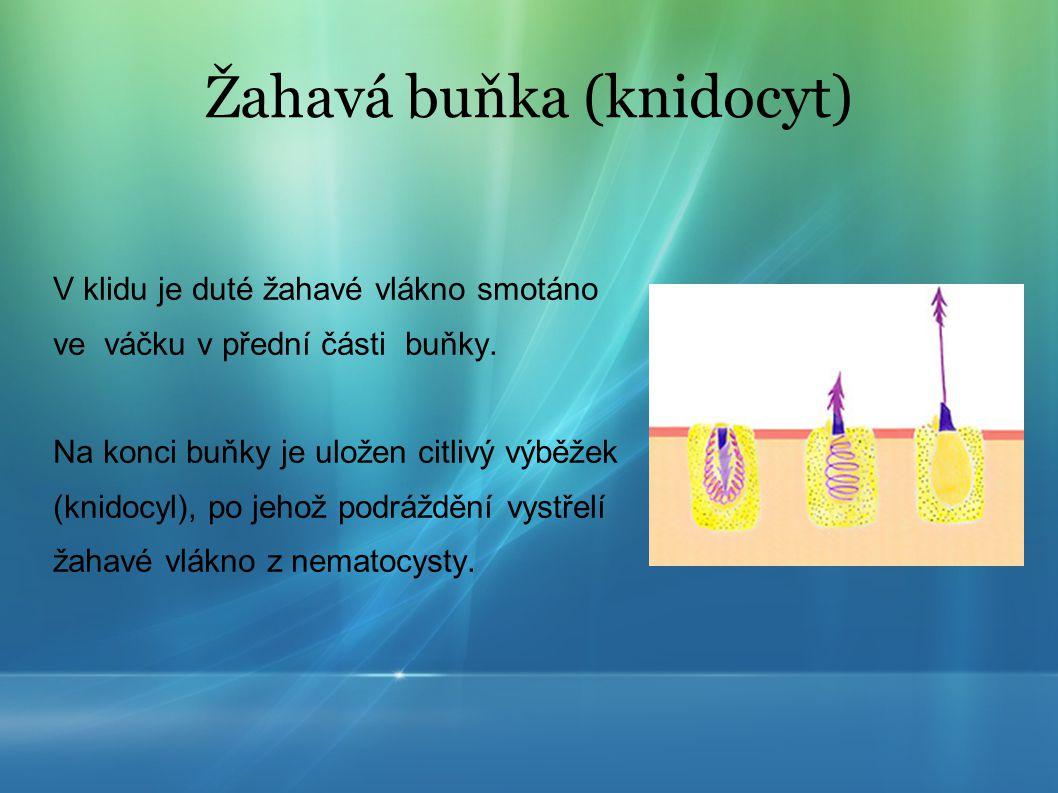 Žahavá buňka (knidocyt)