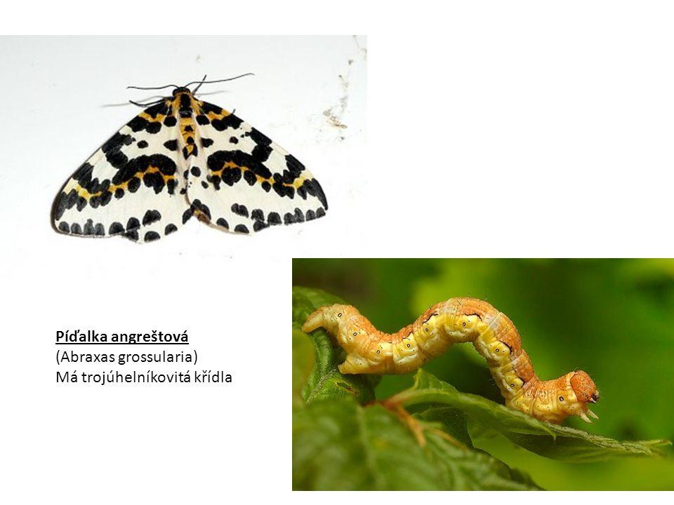 Píďalka angreštová (Abraxas grossularia) Má trojúhelníkovitá křídla