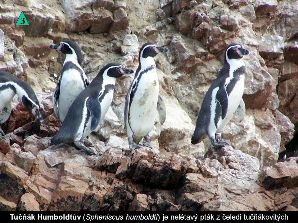 Tučňák Humboldtův (Spheniscus humboldti) je nelétavý pták z čeledi tučňákovitých