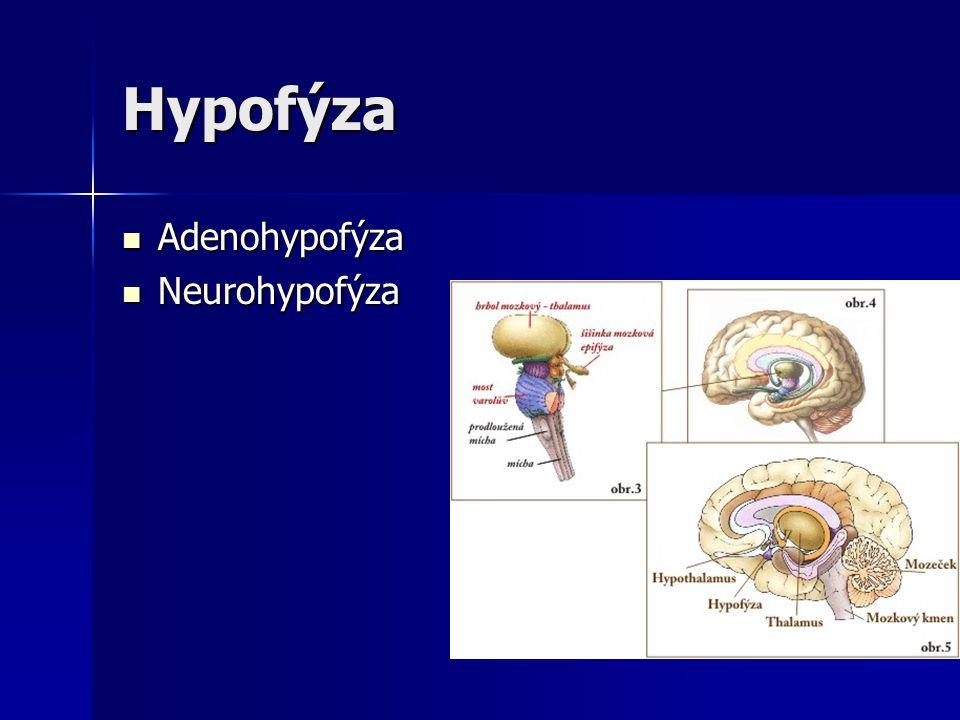 Hypofýza Adenohypofýza Neurohypofýza