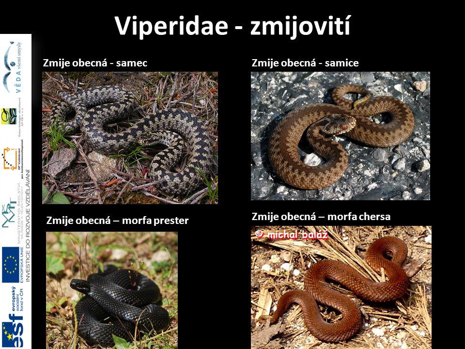 Viperidae - zmijovití Zmije obecná - samec Zmije obecná - samice