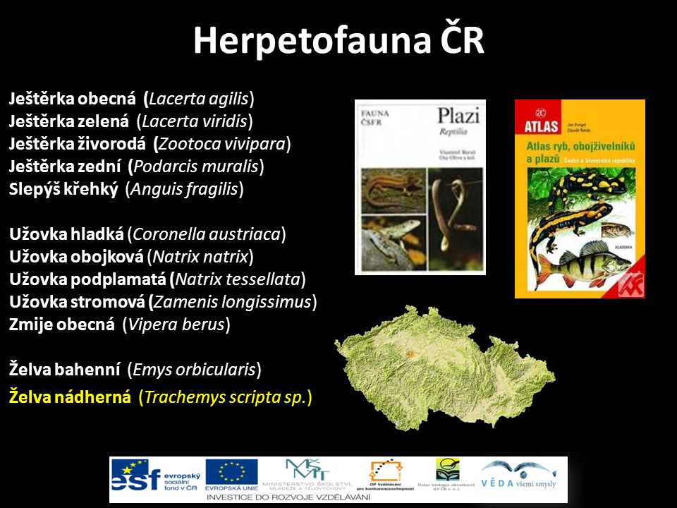 Herpetofauna ČR Ještěrka obecná (Lacerta agilis)