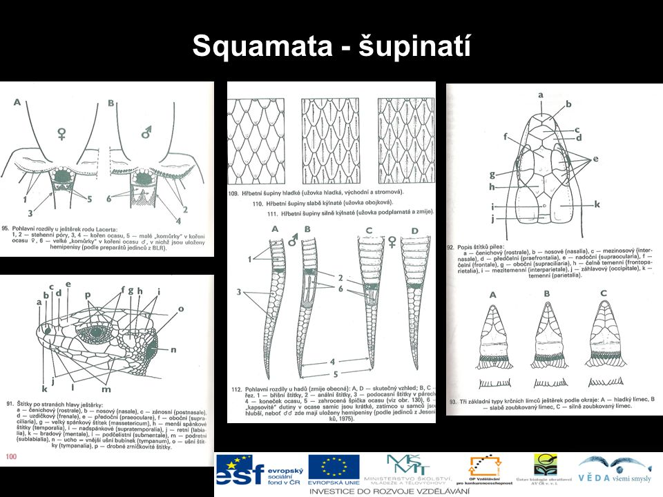 Squamata - šupinatí Šupinatí (Squamata):