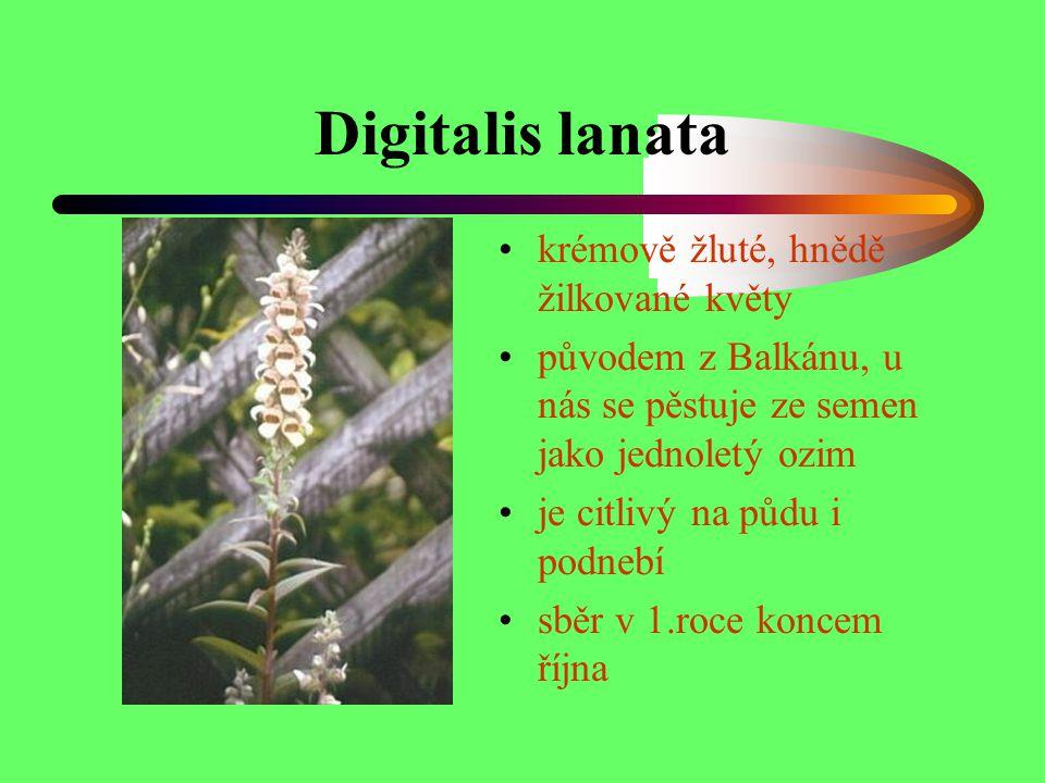Digitalis lanata krémově žluté, hnědě žilkované květy