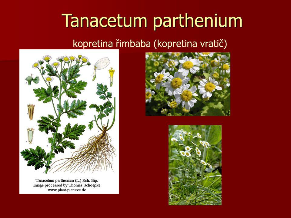 Tanacetum parthenium kopretina řimbaba (kopretina vratič)