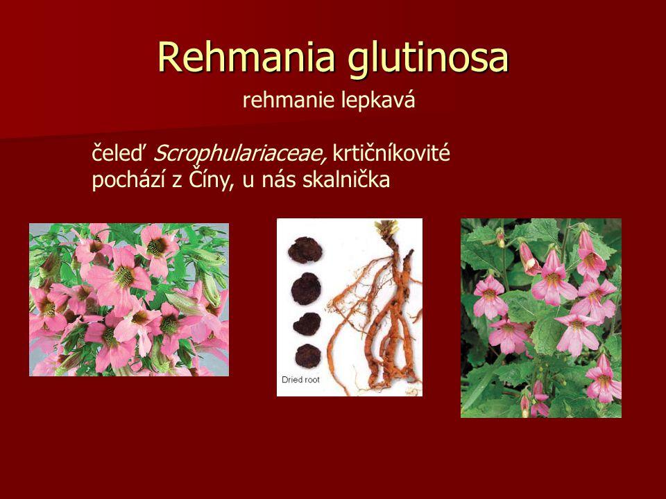 Rehmania glutinosa rehmanie lepkavá