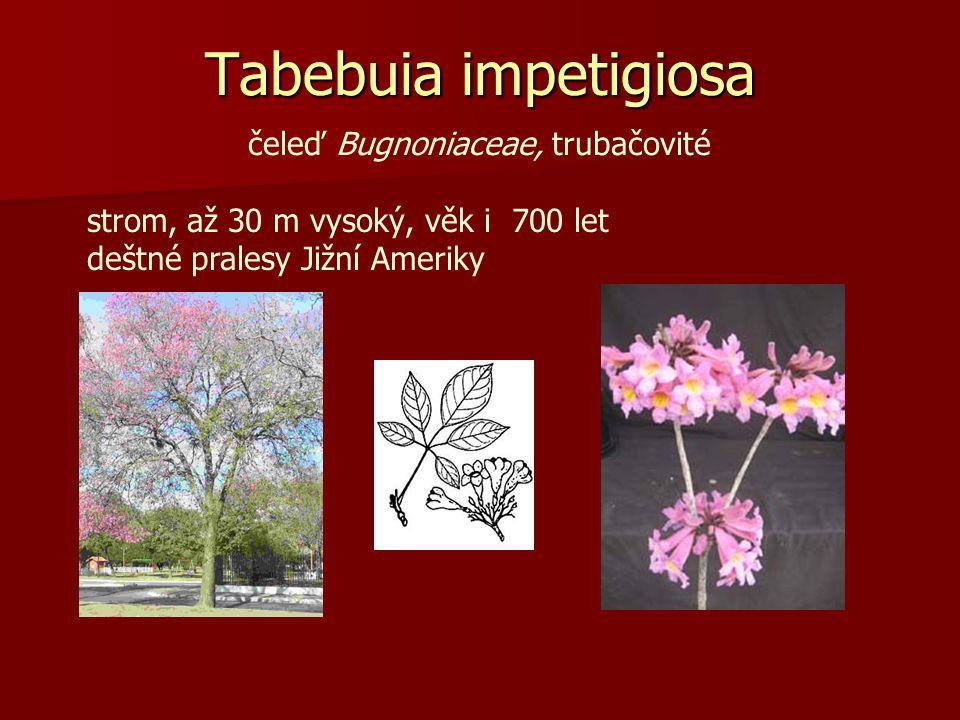 Tabebuia impetigiosa čeleď Bugnoniaceae, trubačovité