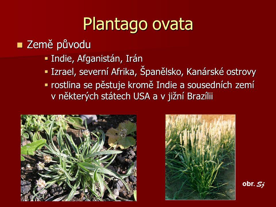 Plantago ovata Země původu Indie, Afganistán, Irán