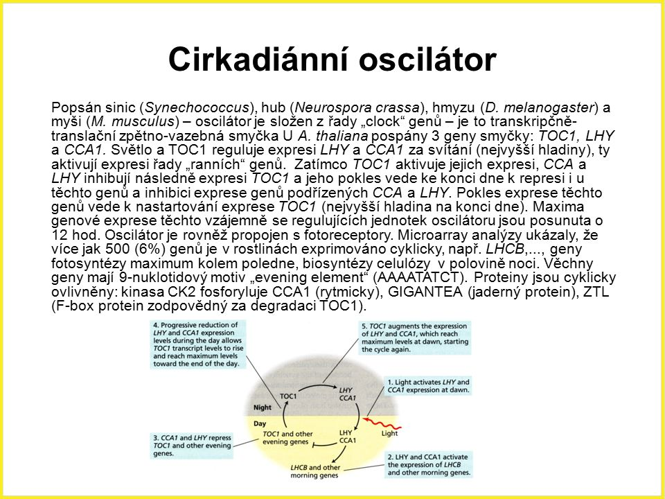 Cirkadiánní oscilátor