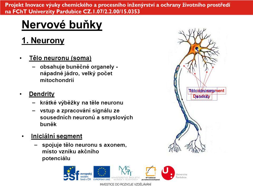 Nervové buňky 1. Neurony Tělo neuronu (soma) Dendrity