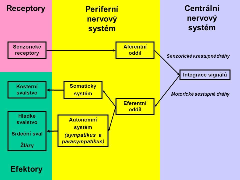 Periferní nervový systém Centrální nervový systém