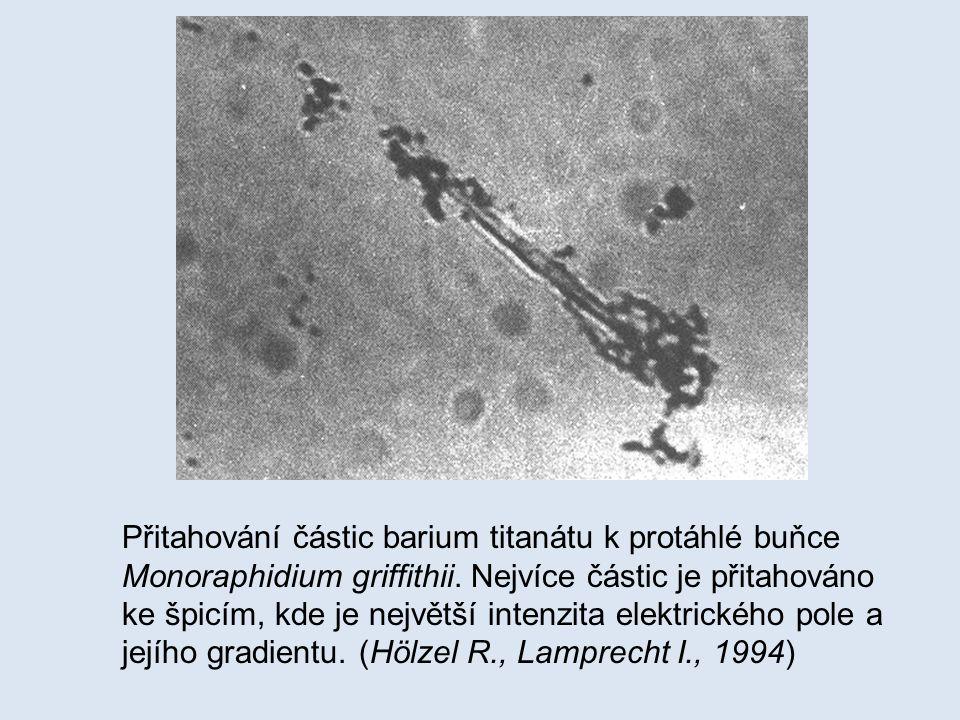 Přitahování částic barium titanátu k protáhlé buňce Monoraphidium griffithii.