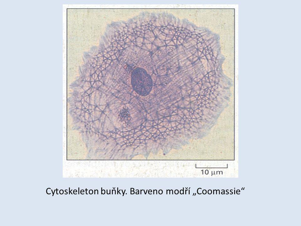 """Cytoskeleton buňky. Barveno modří """"Coomassie"""