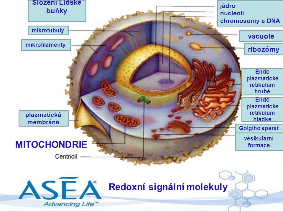 Endo plazmatické retikulum