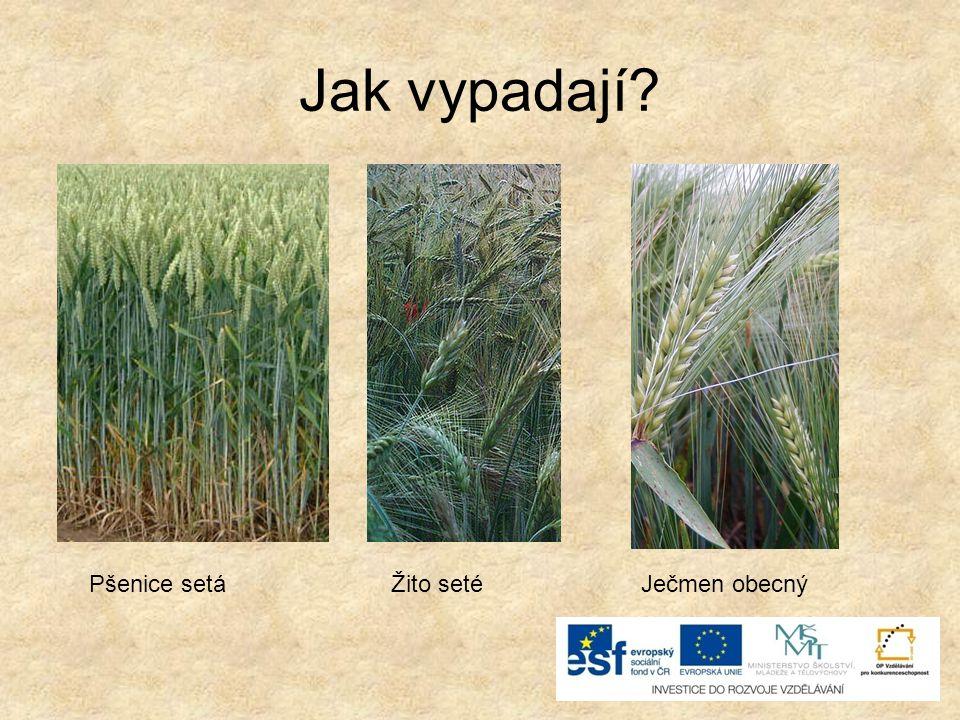 Jak vypadají Pšenice setá Žito seté Ječmen obecný