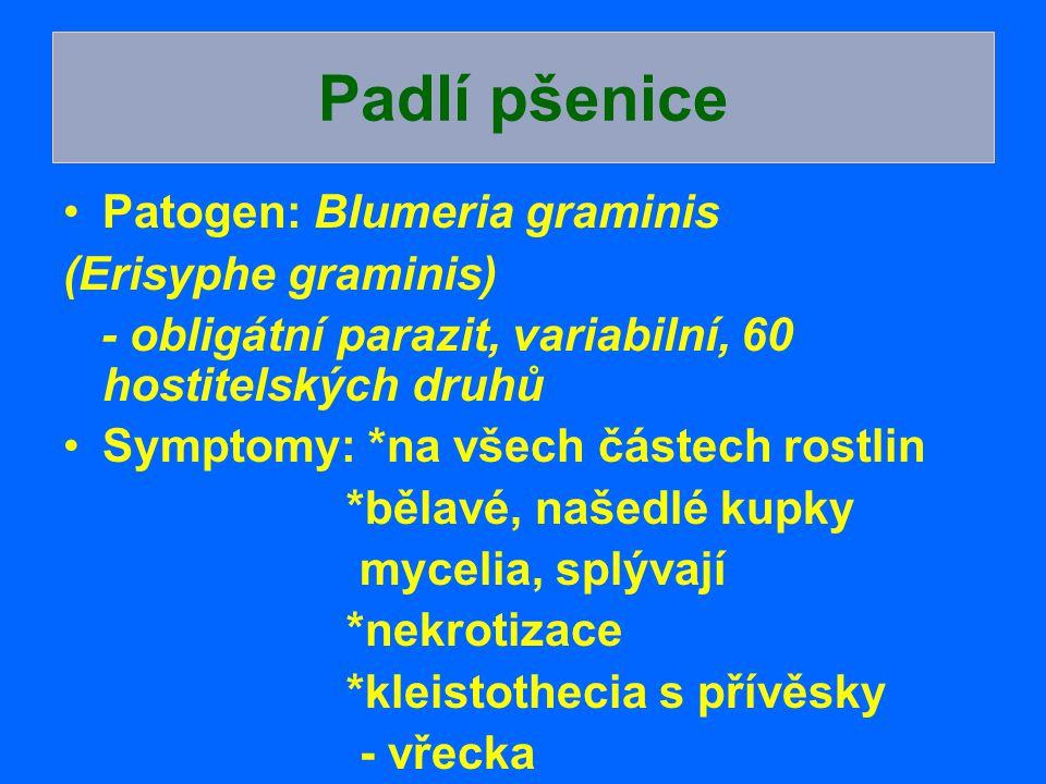 Padlí pšenice Patogen: Blumeria graminis (Erisyphe graminis)