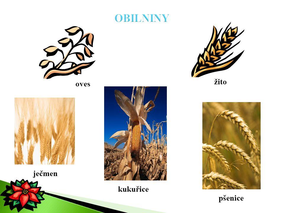 OBILNINY žito oves ječmen kukuřice pšenice