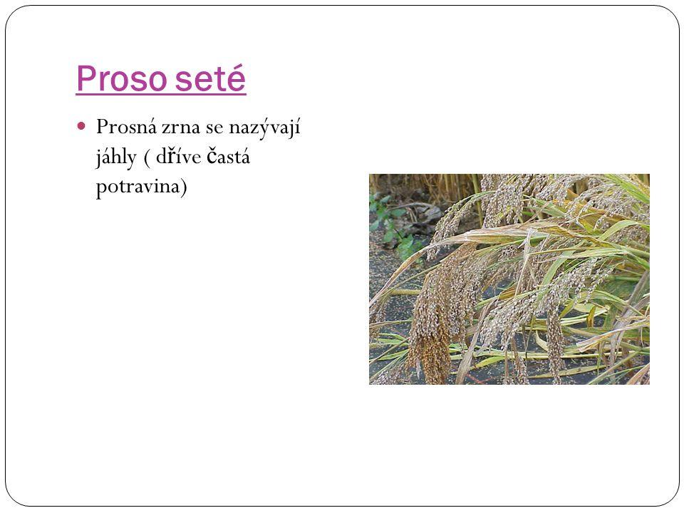 Proso seté Prosná zrna se nazývají jáhly ( dříve častá potravina)