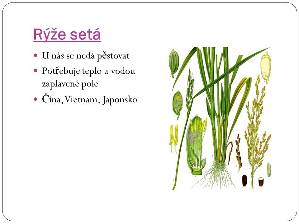 Rýže setá U nás se nedá pěstovat