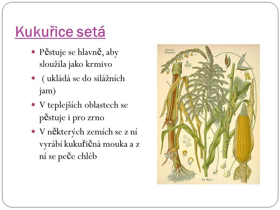 Kukuřice setá Pěstuje se hlavně, aby sloužila jako krmivo