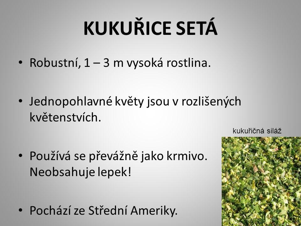 KUKUŘICE SETÁ Robustní, 1 – 3 m vysoká rostlina.