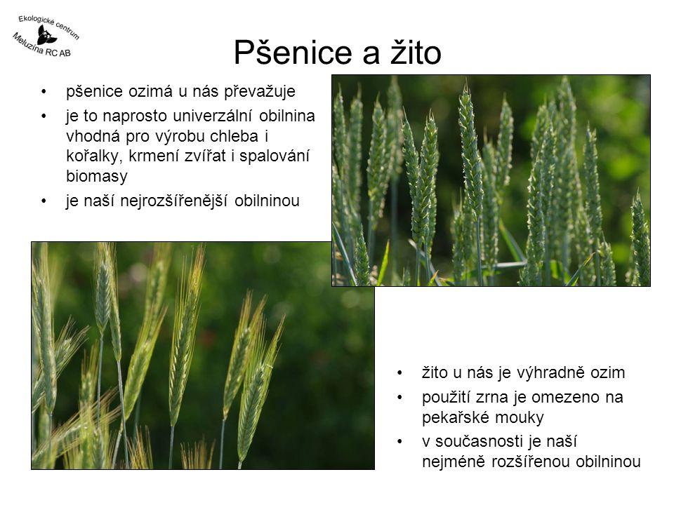 Pšenice a žito pšenice ozimá u nás převažuje