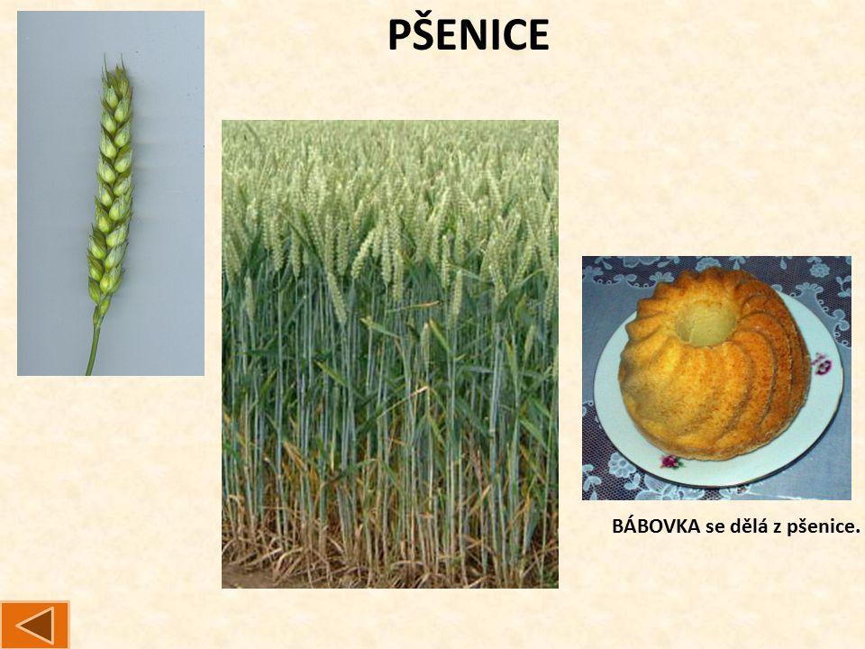 PŠENICE BÁBOVKA se dělá z pšenice.