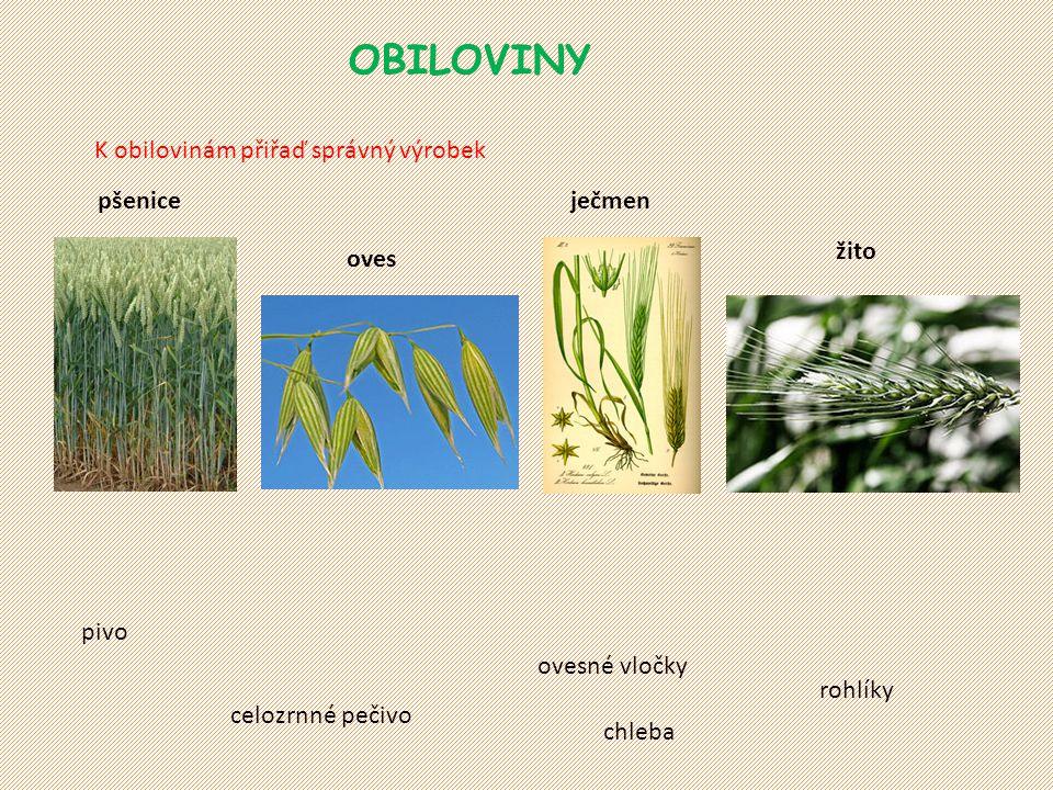 OBILOVINY K obilovinám přiřaď správný výrobek. pšenice. ječmen. žito. oves. pivo. ovesné vločky.