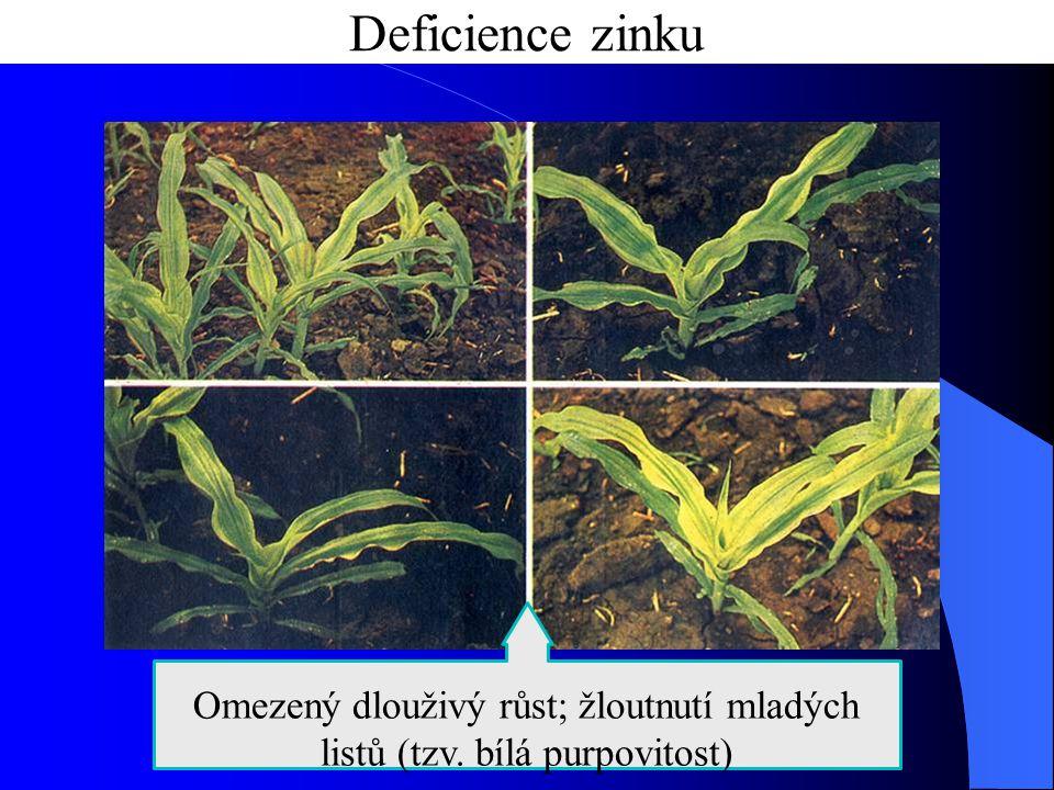 Omezený dlouživý růst; žloutnutí mladých listů (tzv. bílá purpovitost)